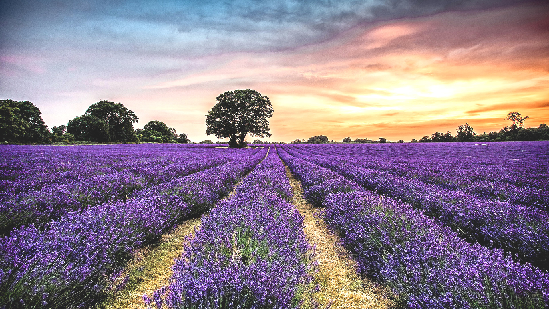 doterra-poweroele.de Lavendel Feld