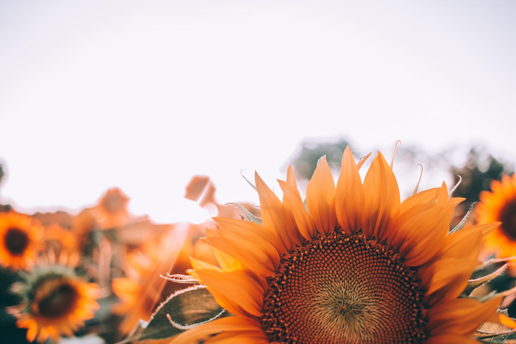 doterra-poweroele.de Sonnenblumen